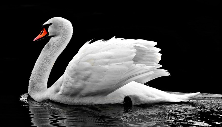 White swan 00028