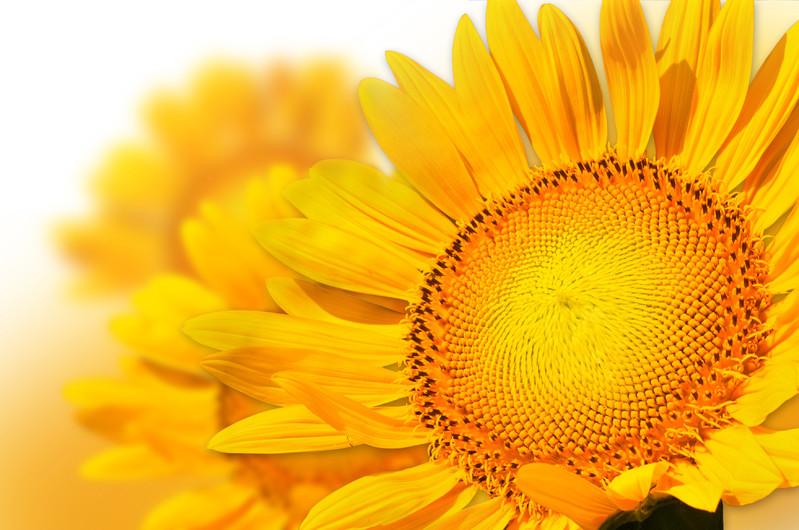 Yellow sunflower petal 00928