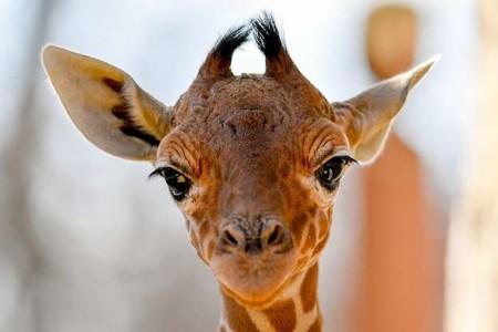 Жираф 01278